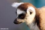 Ring-tailed lemur (Lemur catta) [madagascar_lemurs_0031]
