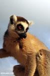 Ring-tailed lemur (Lemur catta) [madagascar_lemurs_0035]