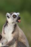 Ring-tailed lemur (Lemur catta) [madagascar_lemurs_0036]