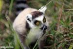 Ring-tailed lemur (Lemur catta) [madagascar_lemurs_0038]