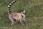 Ring-tailed lemur (Lemur catta) [madagascar_lemurs_0039]