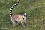 Ring-tailed lemur (Lemur catta) [madagascar_lemurs_0040]