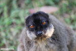 Common brown lemur (Eulemur fulvus) [madagascar_lemurs_0041]