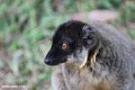 Common brown lemur (Eulemur fulvus) [madagascar_lemurs_0043]