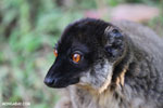 Common brown lemur (Eulemur fulvus) [male]