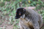 Male Common brown lemur (Eulemur fulvus) [madagascar_lemurs_0045]
