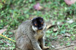 Common brown lemur (Eulemur fulvus) [madagascar_lemurs_0046]