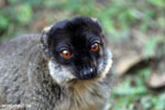 Common brown lemur (Eulemur fulvus) [madagascar_lemurs_0047]
