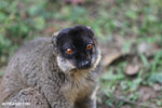 Common brown lemur (Eulemur fulvus) [madagascar_lemurs_0048]