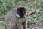 Common brown lemur (Eulemur fulvus) [madagascar_lemurs_0049]