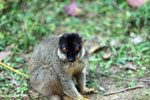 Common brown lemur (Eulemur fulvus) [madagascar_lemurs_0050]