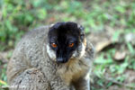 Common brown lemur (Eulemur fulvus) [madagascar_lemurs_0051]