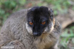 Common brown lemur (Eulemur fulvus) [madagascar_lemurs_0052]