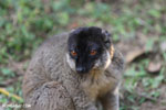 Common brown lemur (Eulemur fulvus) [madagascar_lemurs_0053]