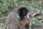 Common brown lemur (Eulemur fulvus) [madagascar_lemurs_0053]