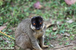 Common brown lemur (Eulemur fulvus) [madagascar_lemurs_0054]