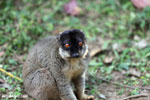 Common brown lemur (Eulemur fulvus) [madagascar_lemurs_0055]