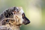 Female Common brown lemur (Eulemur fulvus) [madagascar_lemurs_0056]
