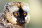 Female Common brown lemur (Eulemur fulvus) [madagascar_lemurs_0060]