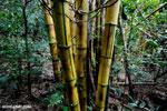 Bamboo in Madagascar [madagascar_maroantsetra_0040]