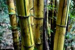 Bamboo in Madagascar [madagascar_maroantsetra_0042]