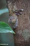 Uroplatus fimbriatus gecko [madagascar_maroantsetra_0045]
