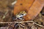 Gephyromantis moseri frog [madagascar_maroantsetra_0066]