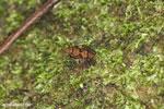 Gephyromantis moseri frog [madagascar_maroantsetra_0083]