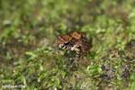 Gephyromantis moseri frog [madagascar_maroantsetra_0084]
