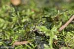 Gephyromantis webbi frog [madagascar_maroantsetra_0088]