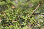 Gephyromantis webbi frog [madagascar_maroantsetra_0089]