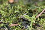 Gephyromantis webbi frog [madagascar_maroantsetra_0090]