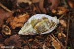 Snail [madagascar_maroantsetra_0095]