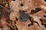 Frog [madagascar_maroantsetra_0096]