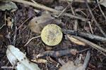 Yellow seed pod [madagascar_maroantsetra_0099]