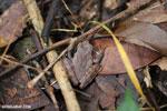 Frog [madagascar_maroantsetra_0105]