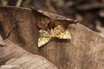 Moth [madagascar_maroantsetra_0106]