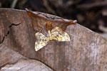 Moth [madagascar_maroantsetra_0109]
