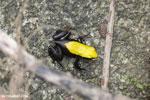 Climbing Mantella (Mantella laevigata) frog