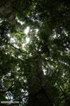 Nosy Mangabe rainforest [madagascar_maroantsetra_0125]