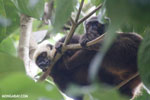 White-headed Lemur on Nosy Mangabe