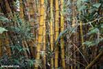 Bamboo in Madagascar [madagascar_maroantsetra_0203]