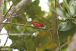 Red fody of Madagascar
