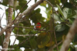 Red fody in Madagascar