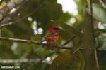 Madagascar Fody (Foudia madagascariensis)