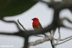 Red Cardinal Fody (Foudia madagascariensis)