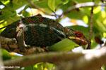 Pardalis chameleon [madagascar_masoala_0001]