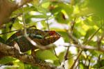 Pardalis chameleon [madagascar_masoala_0003]