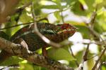 Pardalis chameleon [madagascar_masoala_0004]