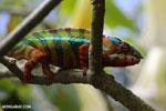 Pardalis chameleon [madagascar_masoala_0005]